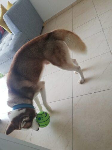 Interaktywna wytrzymała zabawka dla psa Wobble Wag photo review