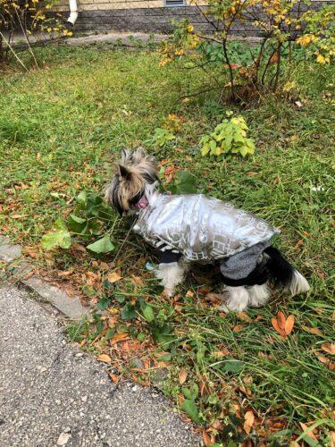 York nosi dwustronną kurtkę Calvin dla psa